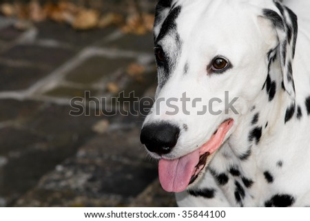 young Dalmatian closeup outdoor