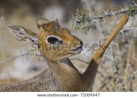 young damara antelope with lifted bone
