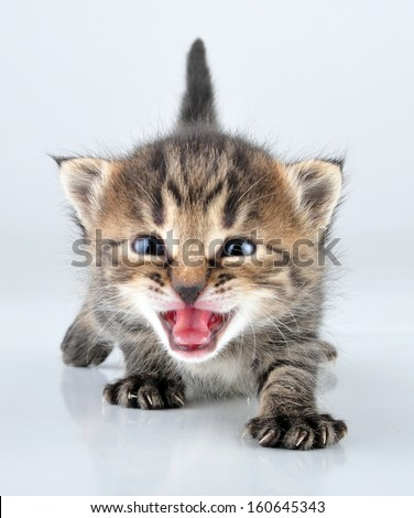 Young 20 days old kitten . Studio shot.