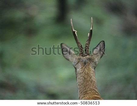 Young deer, back view