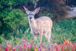 Young Deer eating iceplant, meeting in Pacific Glove, California