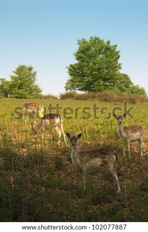 Young deer grazing in knole park early morning