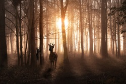 Young deer in a sunrise and misty winter forest. Natural woodland dawn landscape in Norfolk England. Dark shadows and golden morning sun