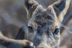 Young deer looking at camera