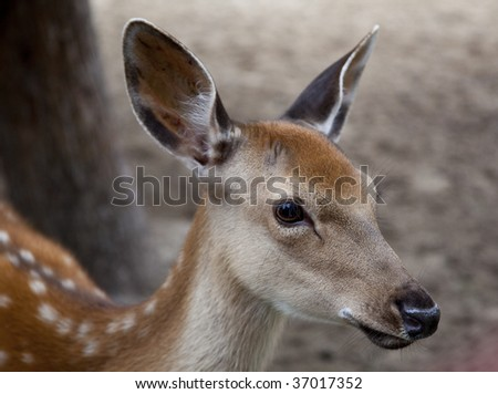 young deer muzzle - stock photo