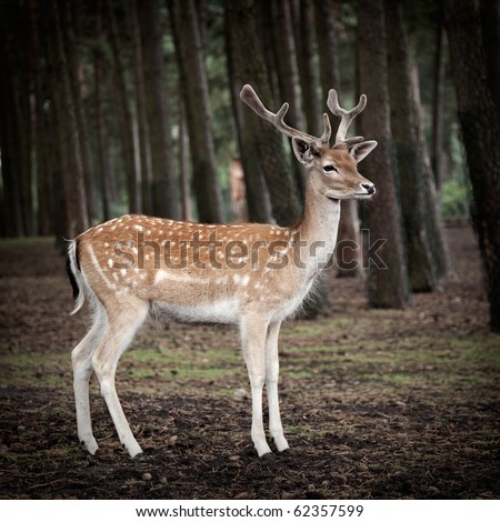 young deer posing in the forest, germany
