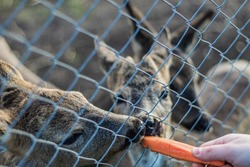 Young deers eating carrots at the zoo
