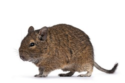 Young Degu rodent aka Octodon degus, walking side ways. Looking ahead. Isolated on a white background.