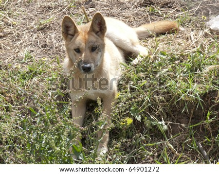 young dingo resting