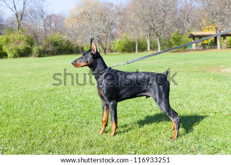 Young doberman