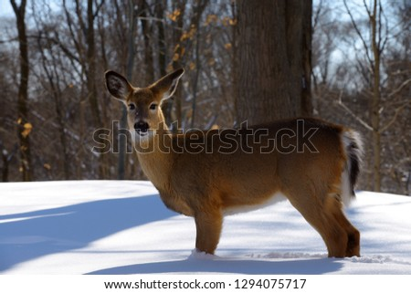 Young Doe White Tailed Deer standing in deep snow in a Toronto backyard ravine in winter