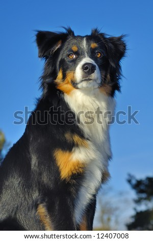 Young dog (cross between a Border Collie and an Appenzeller), looking into the distance. Taken from a low viewpoint, against a blue sky.