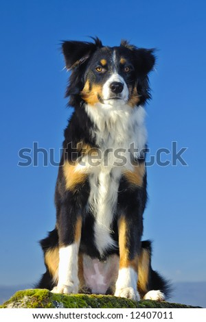 Young dog (cross between a Border Collie and an Appenzeller), sitting with a watchful look. Taken from a low viewpoint, against a blue sky.
