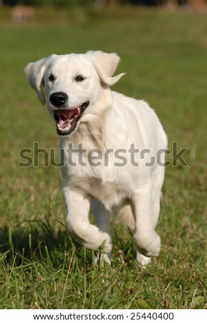 Young dog - golden Retriever runing by the grass