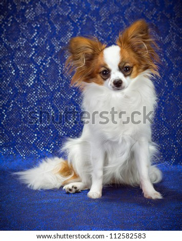 Young dog of breed papillon on a  blue background