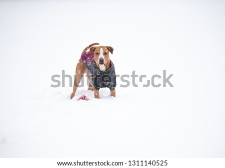 Young Dog Playing in Fresh Snow Wearing Insulated Jacket #1311140525