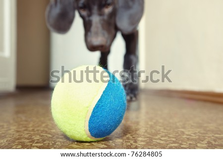 Young dog playing indoors with colorful tennis ball. Natural light and colors. Focus onto the ball