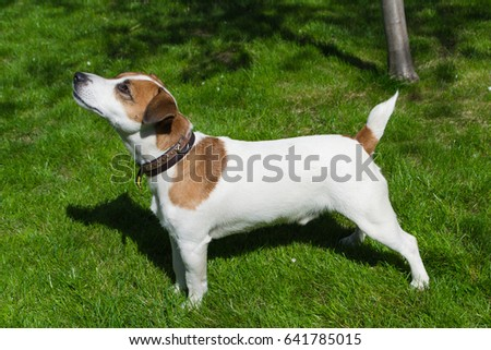 Young dog stay on the grass, Jack Russell