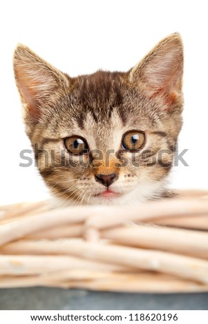 Young domestic kitten looking out of basket over white background