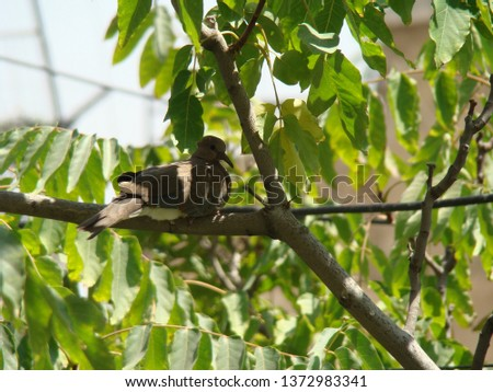 Young dove | laughing dove | Dove in Nature  #1372983341