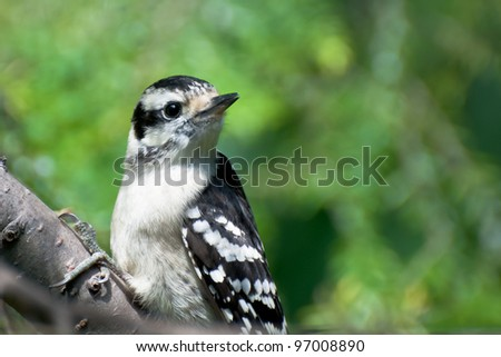 Young Downy Woodpecker Perched on a Branch