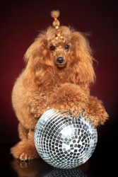 Young Dwarf Poodle dog posing on disco party ball on dark-red background