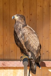 Young eagle sitting on a perch. He is tied up - falconry-led. In the background is a brown wooden wall.