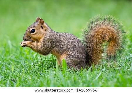 Young Eastern Fox squirrel (Sciurus niger) eating bird seeds in the garden