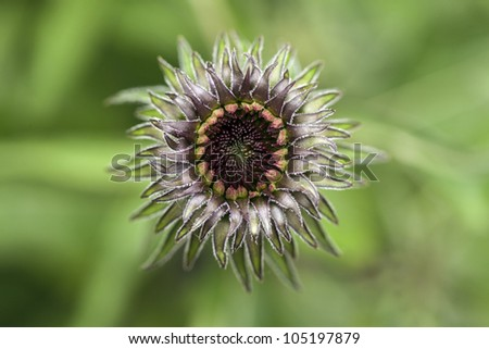 Young Echinacea flower blooming in garden