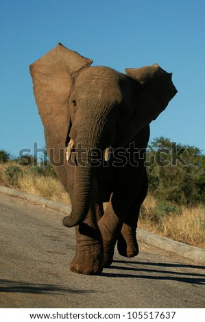 Young elephant bull charging the vehicle on safari in Addo elephant national park,eastern cape,south africa