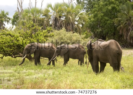Young elephant bulls, Selous Game Reserve, Tanzania