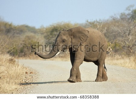Young elephant crossing the road looking for his mom