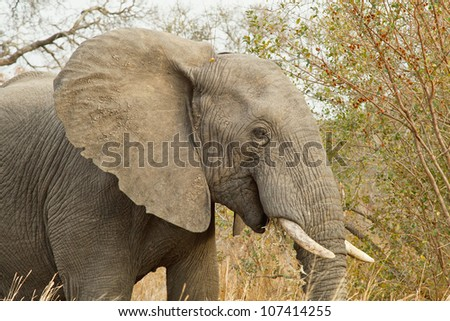 Young elephant eating bush vegetation, South Africa
