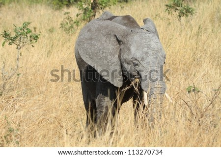 Young elephant in grass