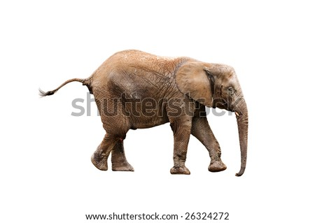 young elephant isolated on white with clipping path