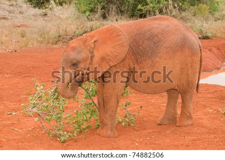 Young elephant playing with a branch at the David Sheldrick Elephant Orphanage in Nairobi, Kenya