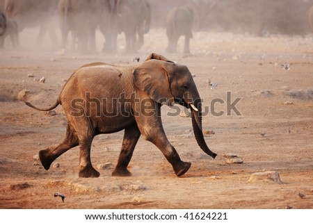Young Elephant running with herd in background; Loxodonta Africana; Etosha - stock photo