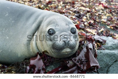 young elephant seal on the pillow of sea plants, Flat Top rock reflecting in his eyes - stock photo