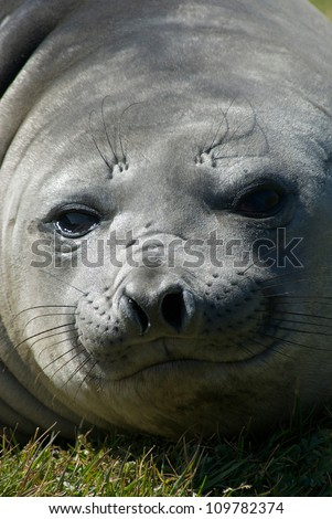 Young Elephant Seals on a beach at the former whaling station in Grytviken, South Georgia