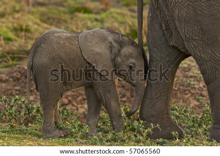 Young elephants walks close to its mother