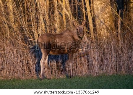 Young Elk Moose in golden hour light outside Karlstad, Sweden Photo Taken: 2019-03-031