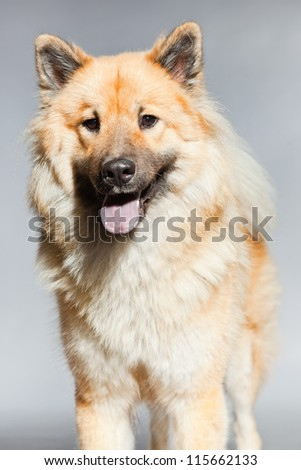 Young Eurasier dog. Closeup shot. Studio shot isolated on grey background. - stock photo