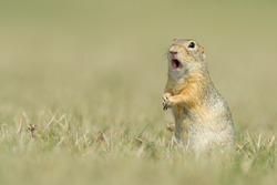 young European ground squirrel Spermophilus citellus, Ziesel) looks into the area and makes funny face