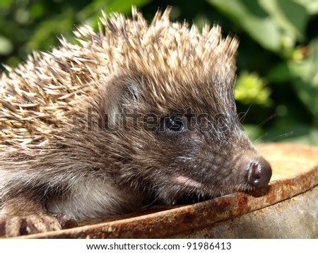 Young European hedgehog on a rusty metal catwalk, on the background of green foliage