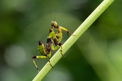 Young European mantis  on green background