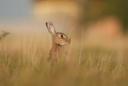 Young European Rabbit is sitting up on its hind legs, watching the surrounding