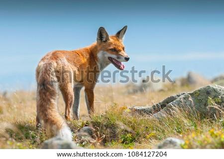 Young european Red fox (Vulpes vulpes), Babia Gora National Park, Poland.  ストックフォト ©