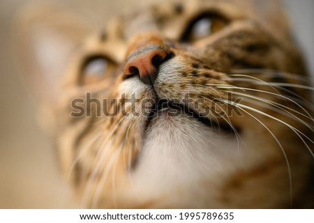 Young european shorthair breed cat's head, very shallow DOF, selective focus at nose and whiskers Stock photo ©