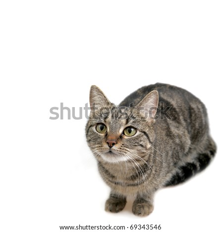 Young European Shorthair in front of a white background