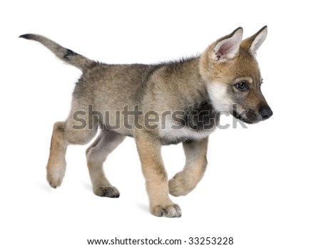 Young European wolf, (Canis lupus lupus) in front of a white background